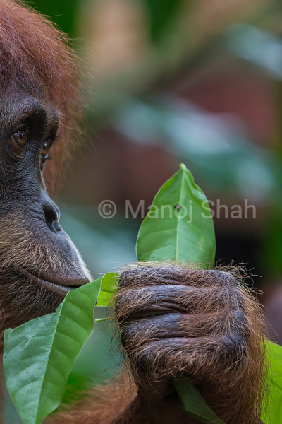 Bornean Orangutan female smelling leaves