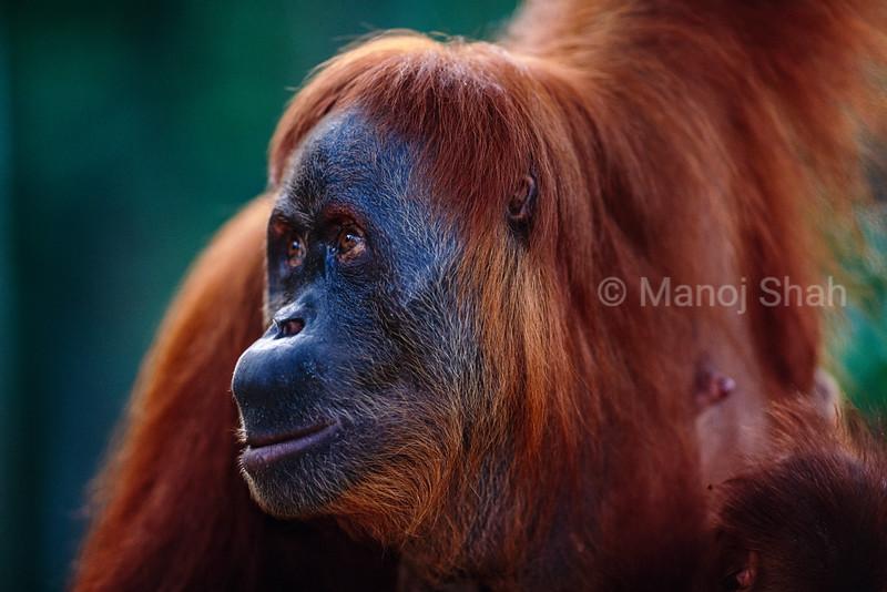 Portrait of Sumatran Female orangutan.