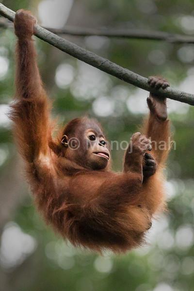 Sumatran Orang Utan youngster hanging on a rope