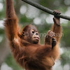 Sumatran Orang Utan youngster hanging on a rope