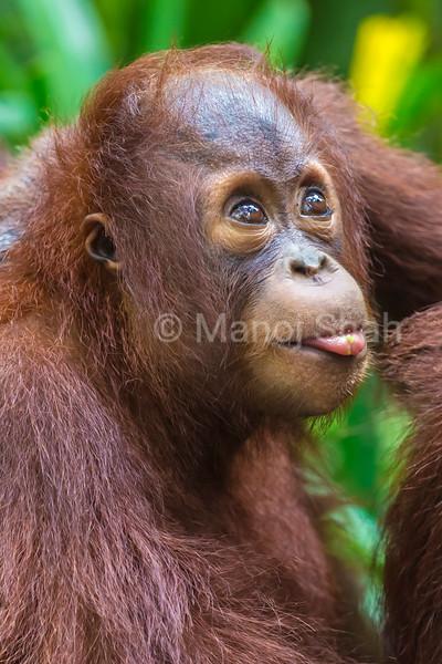 Sumatran orangutan youngster