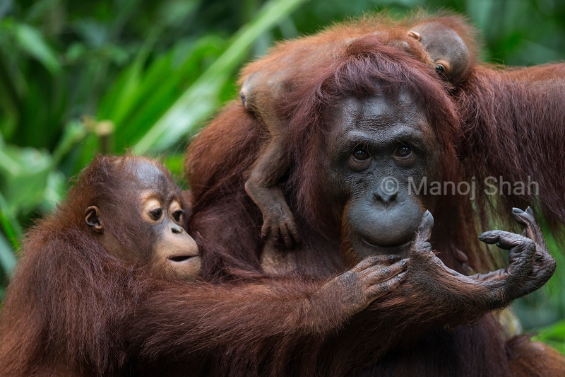 Bornean Orangutan  mother with baby and youngster