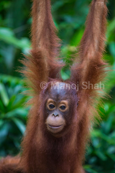 Sumatran Orang Utan youngster playing,