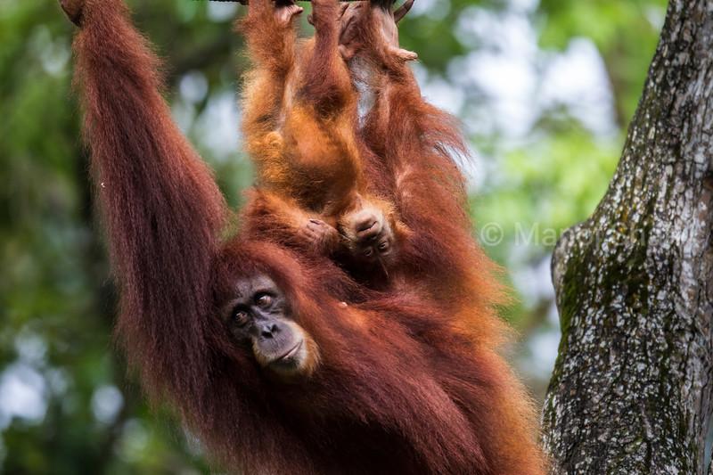 Sumatran Orangutan mother with baby