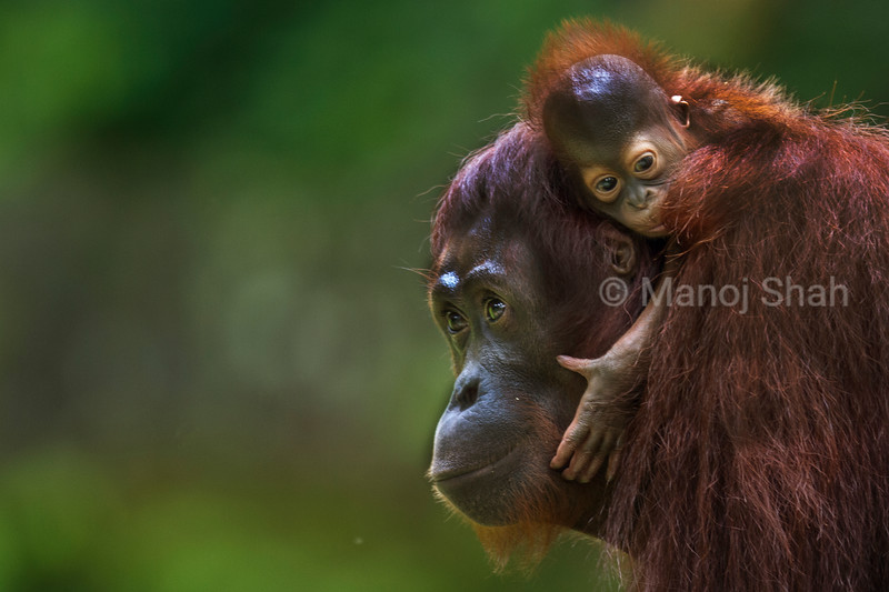 Sumatran Orangutan mother with baby