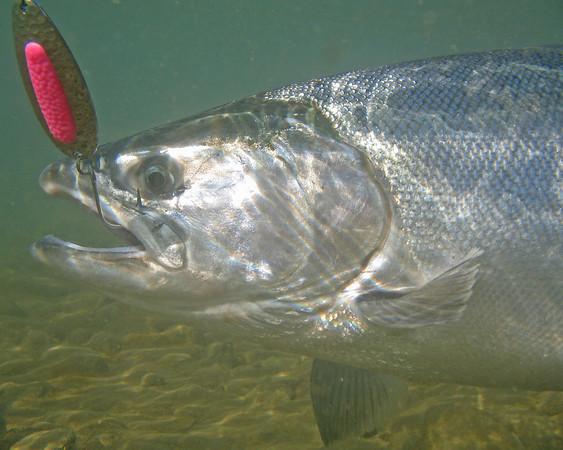 Salmon & Steelhead Journal