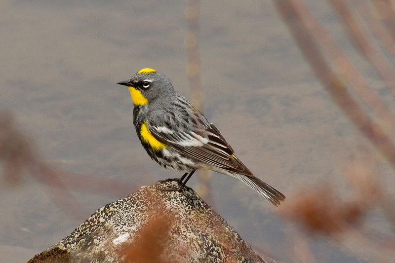 Yellow rumped warbler at Stump Lake