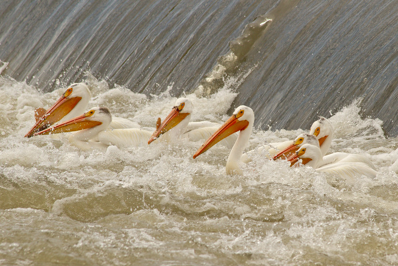 Migrating white pelicans, Yakima River Washington