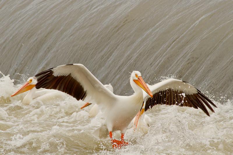 White Pelicans, Yakima River