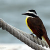 GREAT KISKADEE PERCHES ON THE BOW LINE
