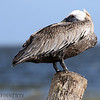 A BROWN PELICAN PEERS OVER ITS RIGHT SHOULDER WITH ITS LEFT EYE