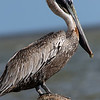 A BROWN PELICAN RESTS ON A PILING