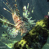 LIONFISH IN THE MANGROVES
