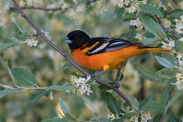 Baltimore Oriole spring male poses among blossoms • Magee Marsh Wildlife Area • 2018