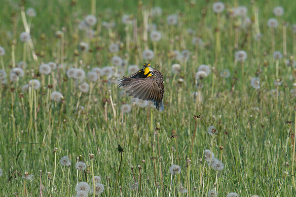 Eastern Meadowlark hovers over field • Sterling, NY • 2020
