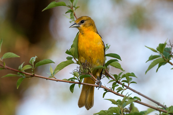 Baltimore Oriole female by morning mist • Magee Marsh, OH • 2014