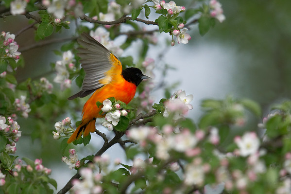 Baltimore Oriole breeding male lifts wings to take flight in blooming apple tree • Marcellus, NY, USA • 2018