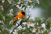 Baltimore Oriole male takes flight in blooming apple tree • my back yard, Navarino NY • 2018
