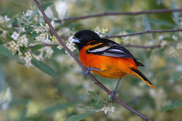 Baltimore Oriole breeding male with flower in beak • Magee Marsh Wildlife Area, OH • 2018