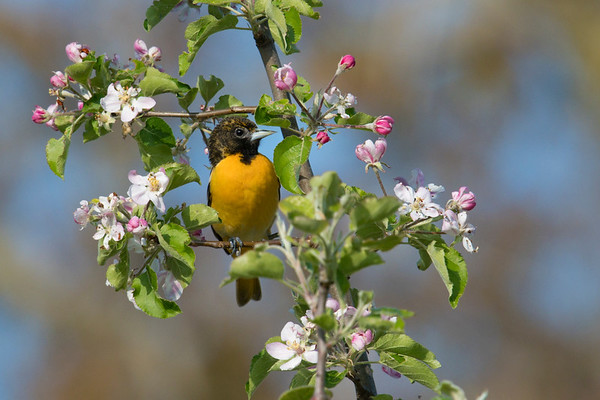 Baltimore Oriole immature male in blooming apple tree • Fairhaven, NY • 2017