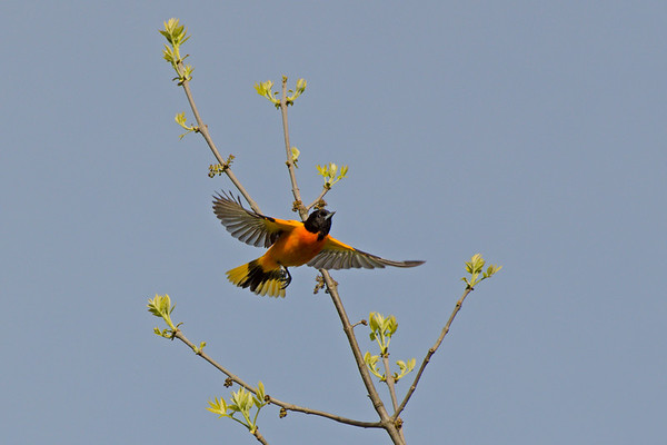Baltimore Oriole male flies through sapling • Montezuma NWR, NY • 2011