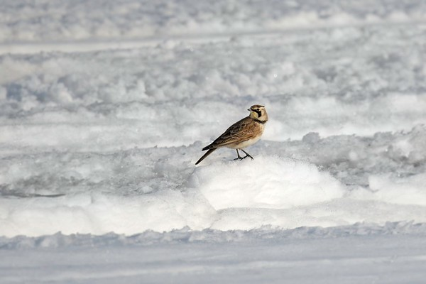 Horned Lark poses on snow • Marcellus, NY • 2020