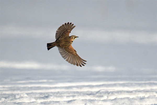 Horned Lark flying over snow with wings spread • Marcellus, NY • 2020