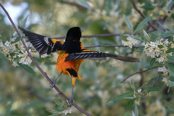 Baltimore Oriole male lifts wings to take flight in blooming tree • Magee Marsh Wildlife Area • 2018