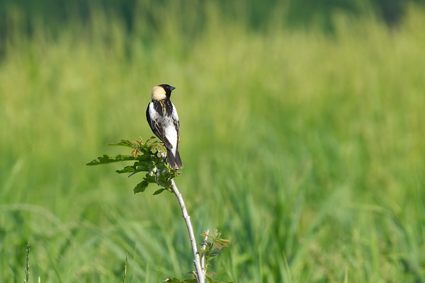 Bobolink poses on plant in field • Seneca Meadows Wetlands Preserve, Seneca Falls, NY • 2011