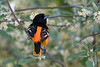 Baltimore Oriole spring male in blooming tree • Magee Marsh Wildlife Area • 2018