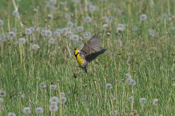 Eastern Meadowlark breeding adult takes flight in field • Sterling, NY • 2020