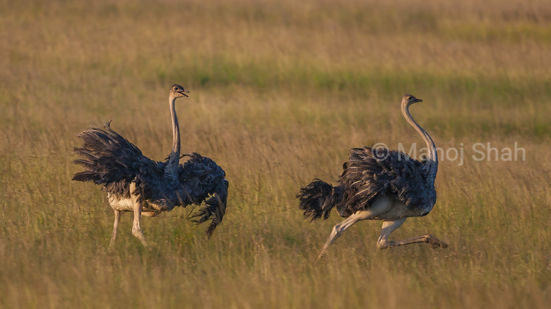 Dominant Ostrich angrily chasing away another male intruder from his territory in Masai Mara.