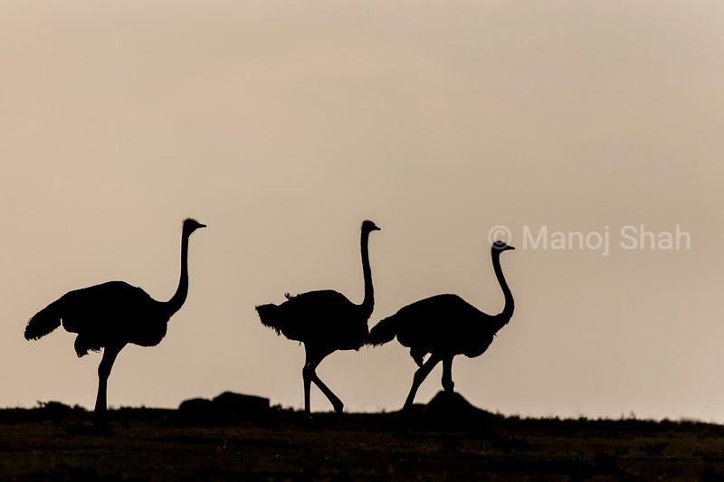 Ostrich sillouhette