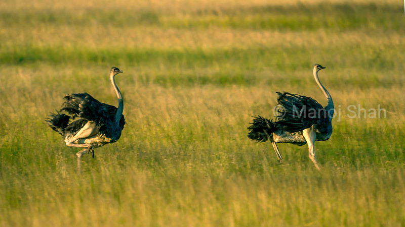 Male Ostriches on the run in Masai Mara savanna.