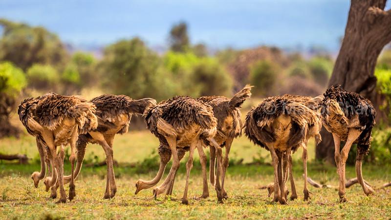 Female Ostriches grazing in Amboseli Natioal Park, Kenya
