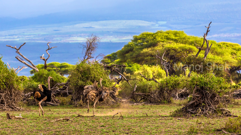 Male ostrich chasing female in Amboseli National Park, Kenya