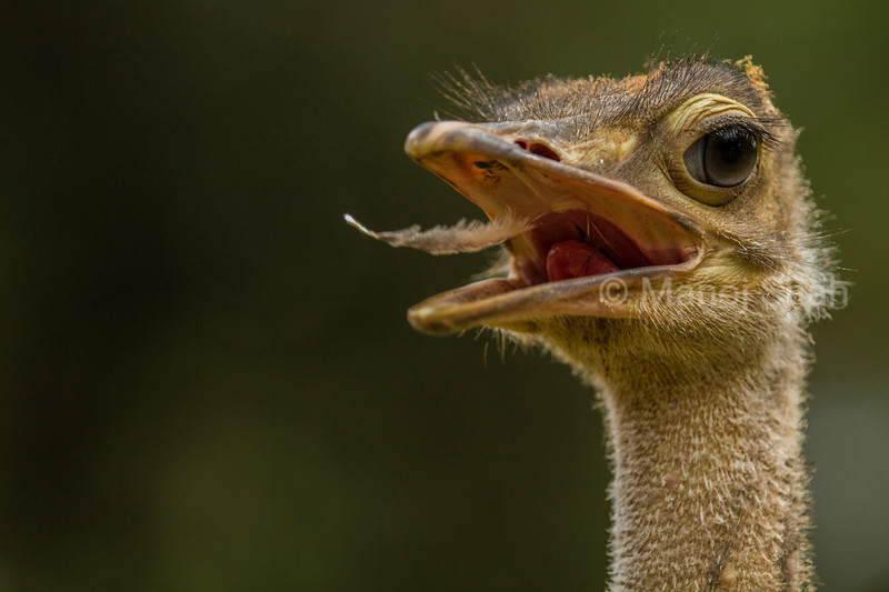 Ostrich with feather in mouth
