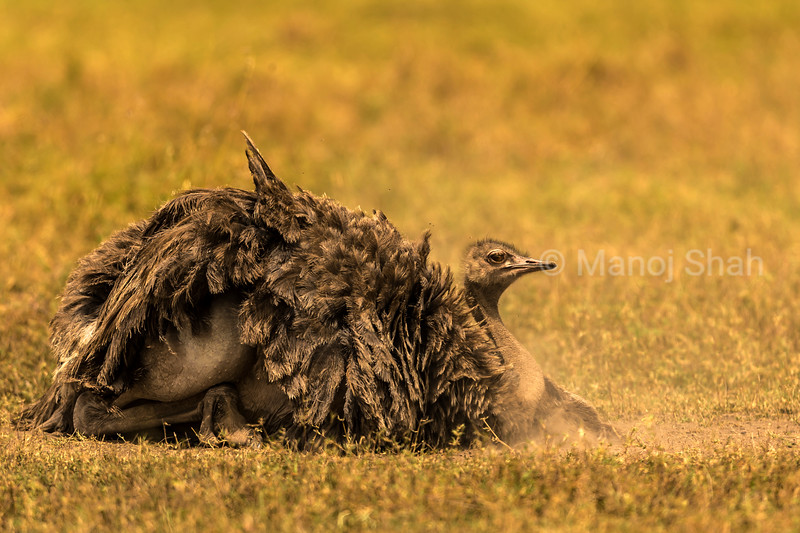 Female Ostrich dusting on ground