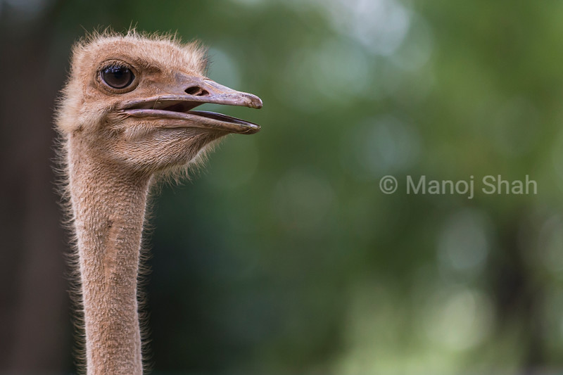 Ostrich neck and head close up