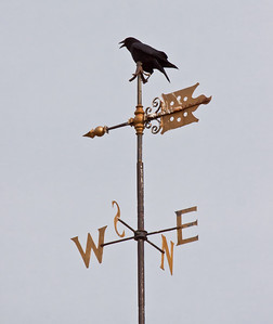 American crow vocalizing from perch of classic weathervane, Maine