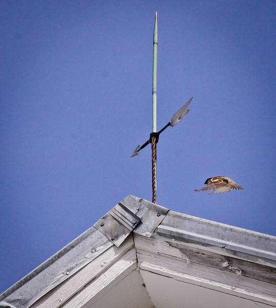 weathervane with House sparrow, Livermore Falls, Maine