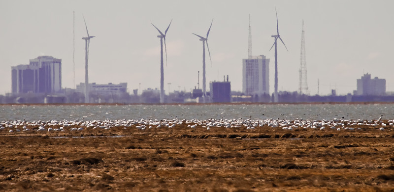 migrating Snow geese on marsh of Edwin B. Forsythe Wildlife Preserve, New Jersey, overlooking Atlantic City casinos and wind turbines,