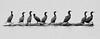 Cormorant Line Up