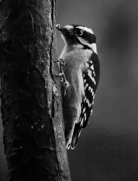 Downy Woodpecker, Black And White