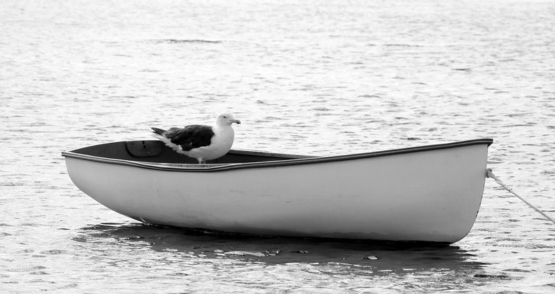 Great Black-backed Gull in dinghy, black and white