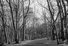 Before trees leaf out they provide a stark beauty. These are oaks, Phippsburg, Maine in April. study in black and white