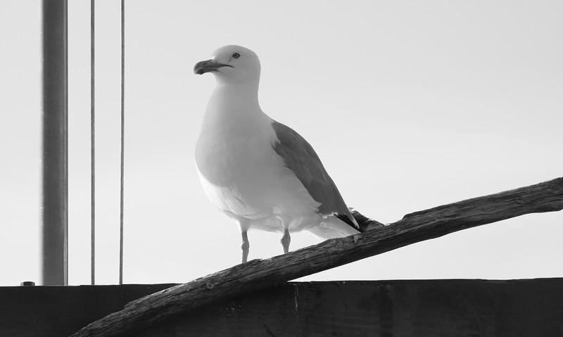 Herring Gull and rigging, black and white Phippsburg Maine