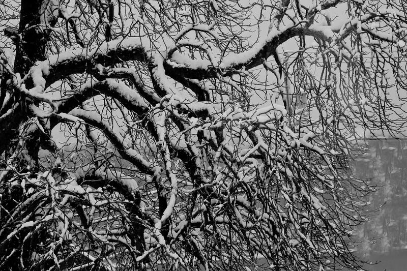 Chestnut Tree In Spring Snow