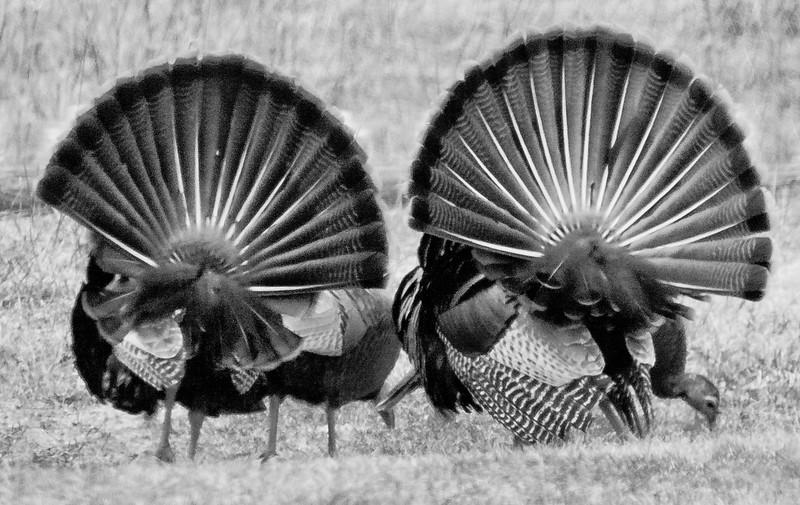 Wild Turkey Fans