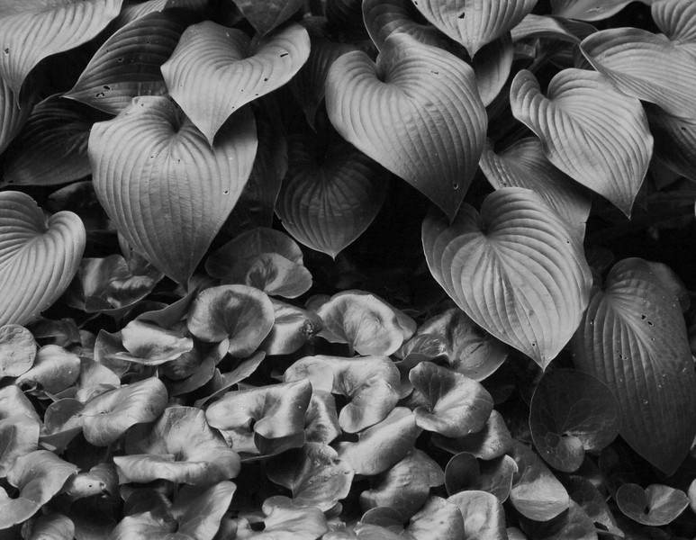 Hosta And Ginger, Black And White